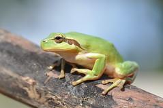 Green TreeFrog (Hans Kool) Tags: macro green nature nikon sigma frog 105 treefrog 105mm sigma105mm sigma105mmf28