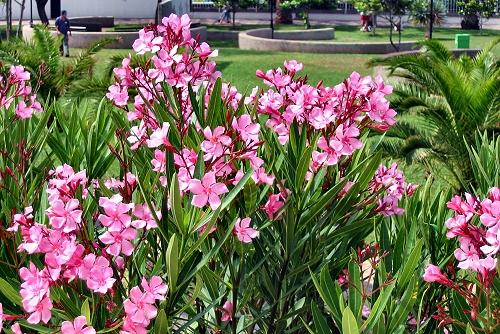 Nerium oleander (rq) - 01