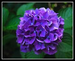 Hydrangea Blue (mimicapecod) Tags: blue flower flora blossom capecod hydrangea inspire naturesfinest fantasticflower mywinners impressedbeauty brillianteyejewel flickrsfantasticflowers alittlebeauty happyfloweryfridayeverday hydrangeabluemonday