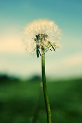 make a wish. (CodyHoffman) Tags: macro dandelion seeds wishes wish dandelionseeds