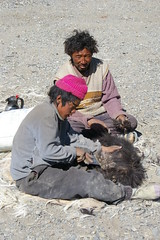Shaving Pashima Sheep (Andreas' Photos) Tags: nomads ladakh tsomoriri