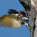northern flicker getting starling out of nest von steve courson