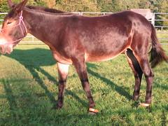IMG_1823 (Ravensong Farm) Tags: one leg mule hobble twoleghobble
