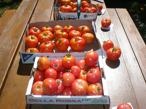 The main haul of tomatoes from our garden at the cottage