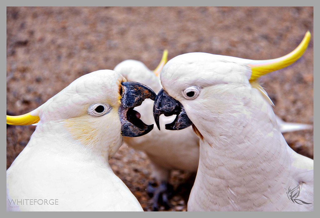 Cockatoo fight