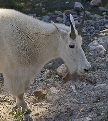 Mountain Goat Canadian Rockies (moelynphotos) Tags: canada nature animals wildlife goat mountaingoat banffnationalpark canadianrockies moelynphotos