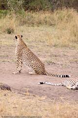 Cheetah mother and son relaxing - DAY02 _MG_8867 (Cassio Lopes & Alessandra Santos) Tags: africa nature animal mammal kenya wildlife safari bigcat cheetah savannah predator carnivore masaimara gamedrive maasaimara