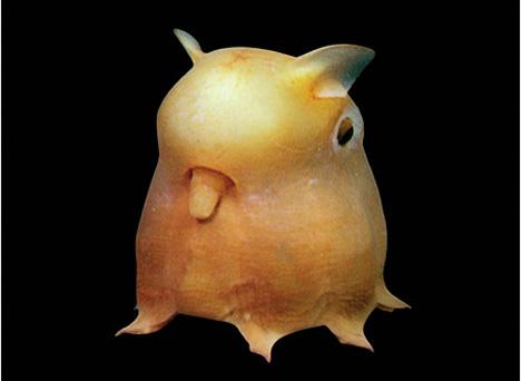 09_dumbo-octopus