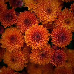 autumn bursting (Will Montague) Tags: blue autumn orange color floral cool nikon kentucky harvest mums chrysanthemum asteraceae montague compositae 50mmprime d80 evansorchard willmontague