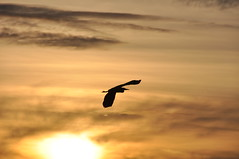 Heron Flyby (JRT ) Tags: sunset sky lake heron water clouds evening nikon worcestershire flyby d90 earlswoodlakes
