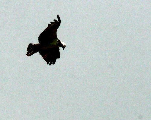 OspreyHovering 20091028