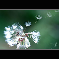 Let the wind blow away... (t L) Tags: trip white flower macro closeup nikon blow dandelion 60mm nikkor f28 d80 mywinners lt bcnganh tl kathypham datphat82 gicuni