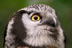 [フリー画像] [動物写真] [鳥類] [猛禽類] [梟/フクロウ] [オナガフクロウ]      [フリー素材]