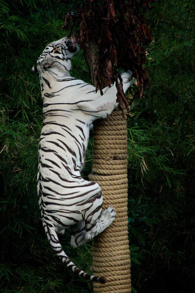 Tiger Climbing Down Climbing White Tiger ii