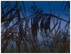 Now for something completely different! (E.........'s Diary) Tags: reed river frost frosty tay rnbtay