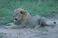 Hungry lion (lourobbo) Tags: southafrica lion timbavati tandatula
