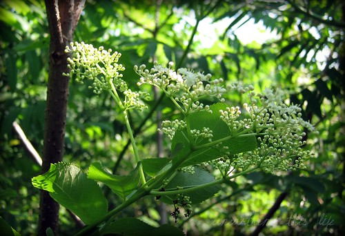 elder flower, just opening