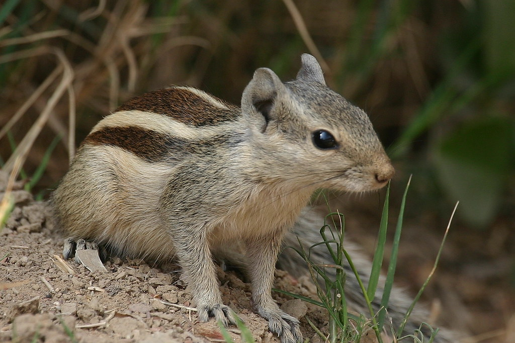 Ask Extension - ground squirrels