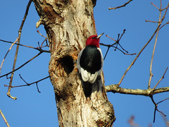 RHWO_2017e (Surfishrink) Tags: redheadedwoodpecker melanerpeserythrocephalus claytorlakestatepark virginia bird