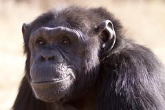 Chimpanzee (MAC's Wild Pixels) Tags: chimpanzee canon70200mmf28lis canoneos50d goldwildlife sweetwaterchimpanzeesanctuary amazingwildlifephotography allofnatureswildlifelevel1