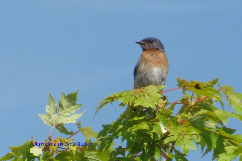 bluebird in a tree - photo by adrienne in ohio