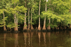 Cypress and Other Trees in Manatee Springs State Park (MickiP65) Tags: statepark park trees wild plants usa plant reflection tree green nature water leaves reflections river leaf florida parks creation northamerica cypress fl plantae 2009 allrightsreserved chiefland copyrighted suwaneeriver canoneos30d manateesprings michellepearson smweb 400x600 071509 july152009 07152009 jul152009 img025690