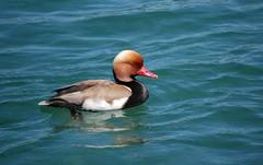 Pochard Duck (bpitzer20) Tags: favorite switzerland luzern lucerne riverreuss