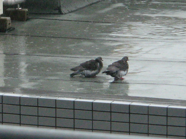 Pigeons in Shower