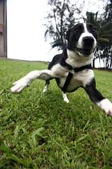 Puppy in Hawaii (NathanaelBC) Tags: park dog playing grass closeup canon puppy geotagged hawaii running 5bestdogs bigisland hilo dslr playful kolekole canonefs1755mmf28isusm 400d geo:lon=15510541 geo:lat=19868768 frameshortlist