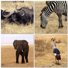 ngorongoro crater, ii (_aires_) Tags: africa elephant canon tanzania buffalo fdsflickrtoys aires safari ngorongoro zebra ngorongorocrater tembo mbogo 50d ires g10 crowncrane canoneos50d pundamilia canon50d ngorongorocratertanzania brokentusk thesuperbmasterpiece bushelephant canonpowershotg10 quériquezadeexperiencias