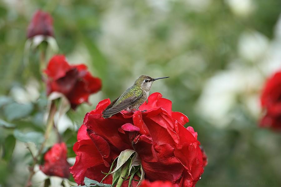 Anna's Hummingbird05091