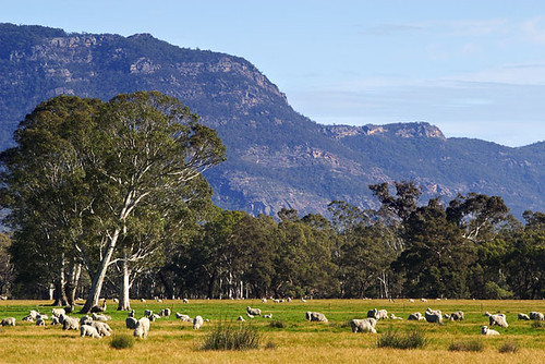 australia  sheep grazing