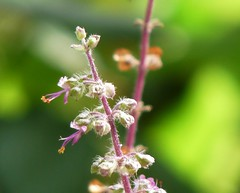 Flowering tulsi