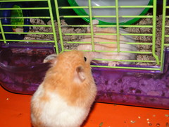 HAMSTERS 005 (CRAZYRAGE) Tags: hamsters