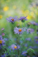 Aster Series III (bytegirl24) Tags: flowers newmexico santafe bokeh wildflowers blooms asters purpleasters winnerbc