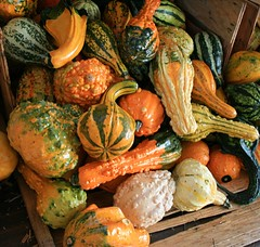 Gourds of Plenty (Marcie Gonzalez) Tags: california county autumn orange holiday color green fall halloween gourds vegetables field yellow canon pumpkin fun photography holidays colorful different bright display many farm pumpkins farming group shapes vegetable gourd fields destination farms gonzalez patch oc patches displayed marcie irvine types tanaka sized tanakafarms tanakafarm marciegonzalez marciegonzalezphotography