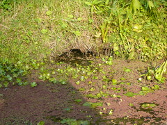 BUT... (giolou) Tags: new home water garden wildlife september cave moat unexpected muskrat burrow occupant