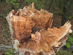 Broke-off tree stump