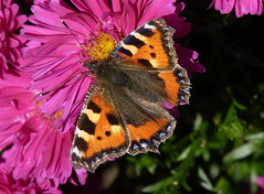 Still Around. (cazstar) Tags: pink flower butterfly sunny monday mygarden aglaisurticae smalltortoiseshell michaelmasdaisy buzznbugz