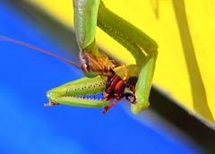 PrayingMantis2-20091013