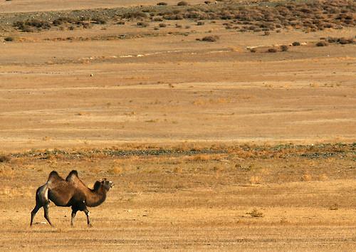 IMG_5735-w Camel