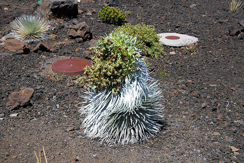 Silversword in Flower at 9700 feet Near Edge of the Crater - Haleakala National Park and Volcano