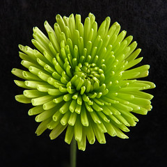 Reach out and touch (annkelliott) Tags: flowers canada flower macro green calgary nature beautiful beauty closeup digital garden square lumix petals flora image explosion explore mum photograph alberta pointandshoot frontpage squarecrop freshness inmykitchen flowerhead onblack singleflower crysanthemum colorimage interestingness3 feelsgood beautyinnature southernalberta allrightsreserved beautifulexpression annkelliott floralfireworks fz28 panasonicdmcfz28 highest3 anneelliott2009 explore2009november19 p1300519fz28 frontpage18november2009 frontpagecontestwinnerjune2010 simplyflowersgroup