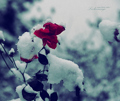 Monday Blues (ShanLuPhoto) Tags: pink flowers blue winter snow garden beijing 花 冬天 雪 loolooimage