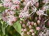 Banias wildflower: Common Hemp Agrimony