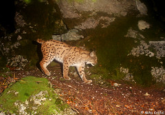 wild lynx from Dinaric mountains (mk_lynx) Tags: wild mountains animals flesh night walking photo europe wildlife large slovenia northern eurasian lynx carnivore trapp ris slovenian rokcs dinaric lynxlynx evrazijski mountaeurasian