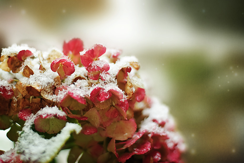 Snowy Hydrangia