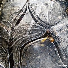 Flaque gele - Frozen Puddle (monteregina) Tags: canada abstract cold macro texture ice geometric nature water leaves lines closeup puddle design frozen eau frost crystals mare natural geometry circles patterns details curves natur shapes structures textures qubec designs forms layers swirl swirls mince transparent cracks thin icy kalt eis gel froid patron feuilles lignes couches glace motifs abstractions flaque geometrie abstrait gele pftze froze courbes cercles dtails formes cristaux troudeau iceformation icebubbles monteregina icedpuddle