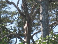 Scarlet Macaws are shy today (Baltimore Bob) Tags: bird scarlet costarica december parrot macaw 2009 carara tarcoles