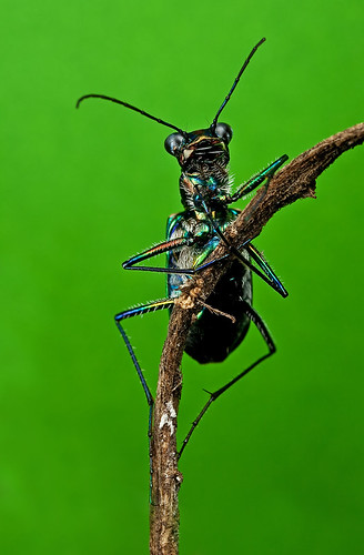 "Tiger Beetle : ""this is how I sleep"""